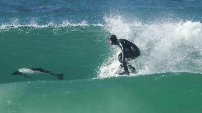 Peselancar Argentina, Joaquin Azulay, menjajal ombak sembari ditemani lumba-lumba Commerson di Pulau Saunders, Kepulauan Falkland. (Gauchos del Mar/Handout via Reuters)