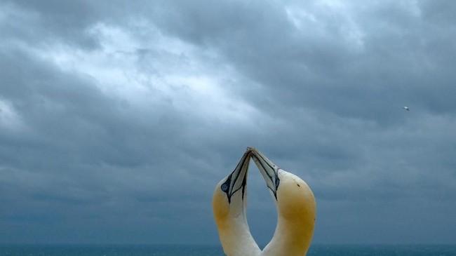 Sepasang burung Gannet (burung laut) berada di tebing di suatu pulau Helgoland di Jerman bagian utara. (AFP/Patrik Stollarz)