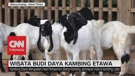 VIDEO: Wisata Budi Daya Kambing Etawa