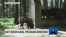 VIDEO: Bayi Bison Hasil Program Breeding Lahir