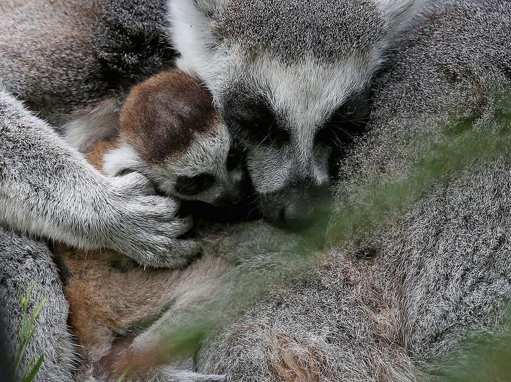 Seekor lemur memeluk bayinya yang baru lahir di Kebun Binatang Bristol, Inggris. Matt Cardy/Getty Images.