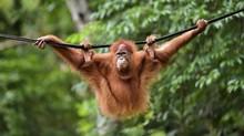 Dua Orangutan Sumatera Dilepasliarkan ke Cagar Alam Jantho
