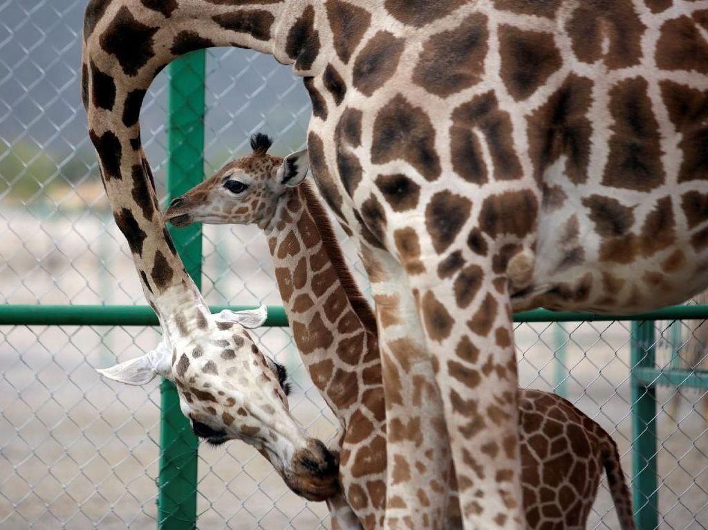 Jerapah juga punya cara unik untuk mengekspresikan kasih sayang. Hewan dengan leher panjang ini biasanya menggunakan lehernya untuk memeluk atau mengekspresikan kasih sayang kepada pasangan maupun anaknya. Daniel Becerril/Reuters