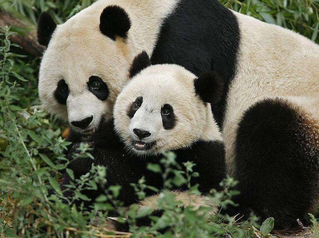 Seekor induk panda memeluk bayinya yang tengah bermain di Taman Zoologi Nasional Smithsonian, Washington D.C, Amerika Serikat. Chip Somodevilla/Getty Images.