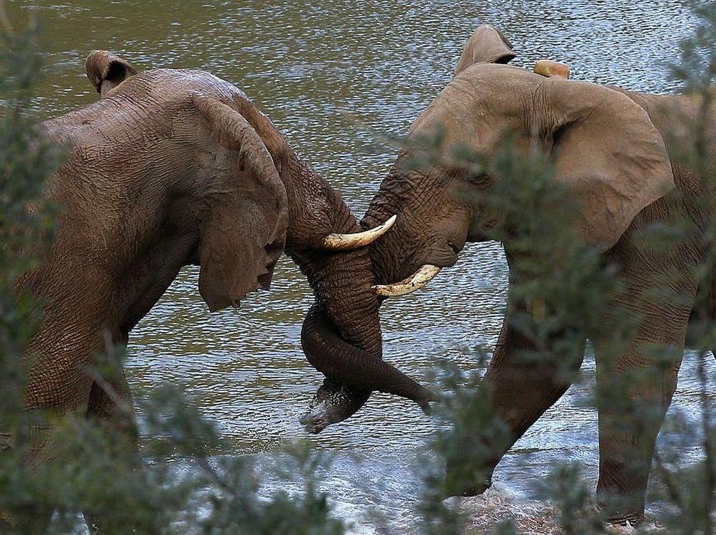 Gajah punya cara unik untuk mengekspresikan kasih sayang kepada sesamanya. Mereka biasanya saling melilitkan belalai untuk mengungkapkan kasih sayang satu sama lain. Cameron Spencer/Getty Images.