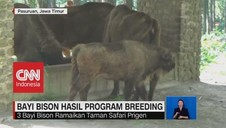 VIDEO: 3 Bison Breeding Ramaikan Taman Safari Prigen