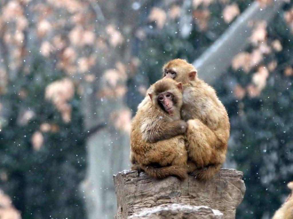 Aksi menggemaskan dua ekor monyet yang saling berpelukan di tengah butiran salju yang turun di Kebun Binatang Zhengzou, China. VCG/VCG via Getty Images.