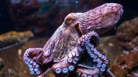 Kutu Laut dan Gurita Pasifik Muncul di Jakarta Aquarium