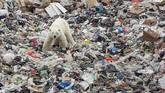 Seekor beruang kutub terlihat mengorek tempat sampah di Norilsk, Rusia. (REUTERS/Yuri Chvanov)