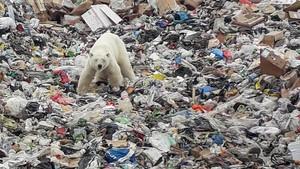FOTO: Beruang Kutub Makan Sampah di Rusia