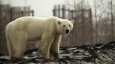 Banyak yang percaya bahwa beruang kutub itu jalan berkilo-kilo meter jauhnya dari Lingkar Arktik untuk mencari makan di dekat pemukiman manusia di utara Siberia. (REUTERS/Vyacheslav Yarinski)