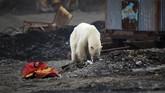 Kelompok lingkungan hidup yakin kalau beruang kutub tersesat saat mencari makan di alamnya. (REUTERS/Irina Yarinskaya/Zapolyarnaya Pravda)