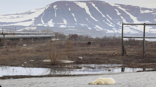 Foto dan video mengenai beruang kutub yang mencari makan di tumpukan sampah Rusia mendadak viral pada pekan kemarin. (REUTERS/Irina Yarinskaya/Zapolyarnaya Pravda)