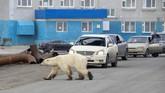 Perubahan iklim yang semakin memburuk belakangan ini membuat hewan liar jadi kehilangan sinyal mencari makan di alam liar. (REUTERS/Irina Yarinskaya/Zapolyarnaya Pravda)