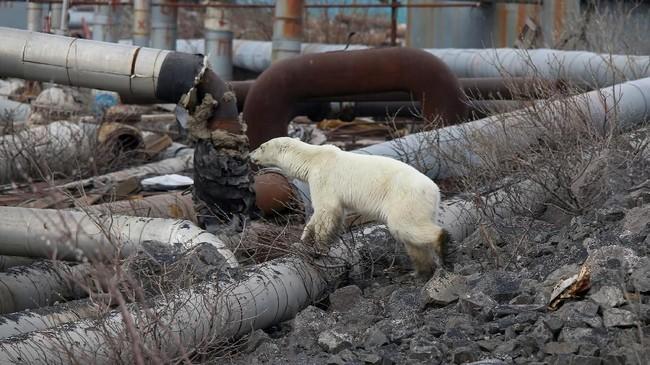 Beruang kutub betina itu terlihat kurus dan sakit saat sedang mengorek tempat sampah. Kakinya dikotori lumpur dan hidungnya menciumi sampah yang ditemukannya. (REUTERS/Irina Yarinskaya/Zapolyarnaya Pravda)
