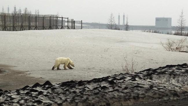 Ini adalah pertama kali berung kutub terlihat di pemukiman sejak 40 tahun terakhir, seperti yang dikatakan oleh kelompok lingkungan hidup. (REUTERS/Vyacheslav Yarinski)