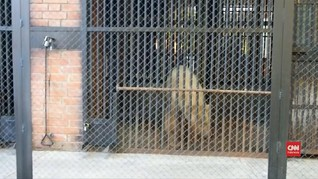 VIDEO: Beruang Kutub yang 'Nyasar' ke Rusia Dibawa ke Siberia