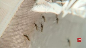 VIDEO: Riset Racun Laba-laba untuk Obati Malaria