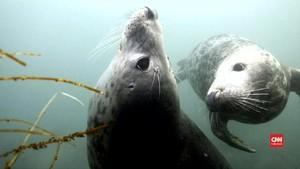 VIDEO: Anjing Laut Bisa Tiru Ucapan Manusia