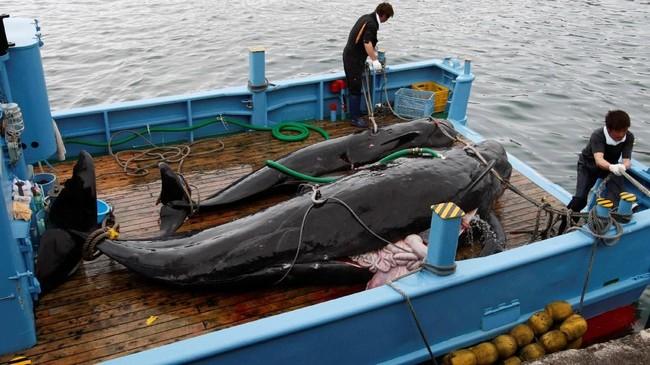 Paus yang ditangkap nelayan di Taiji, Jepang. Selama bertahun-tahun Jepang melakukan perburuan paus, tindakan yang membuat marah pecinta hewan sekaligus kawannya, Amerika Serikat. (REUTERS/Issei Kato)