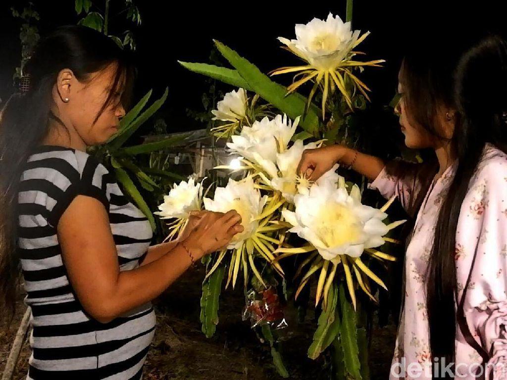 Pesona bunga buah naga yang bermekaran di malam hari itu dimanfaatkan warga untuk berburu foto yang instagramable.