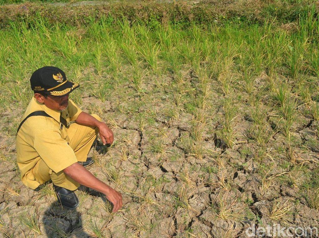 Belasan hektar sawah yang dilanda kekeringan itu tersebar di tiga blok, yakni blok Rancang, Sigarjaya, dan Jlawe.