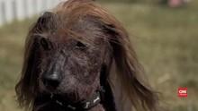 VIDEO: Kontes Anjing Terburuk Digelar di California