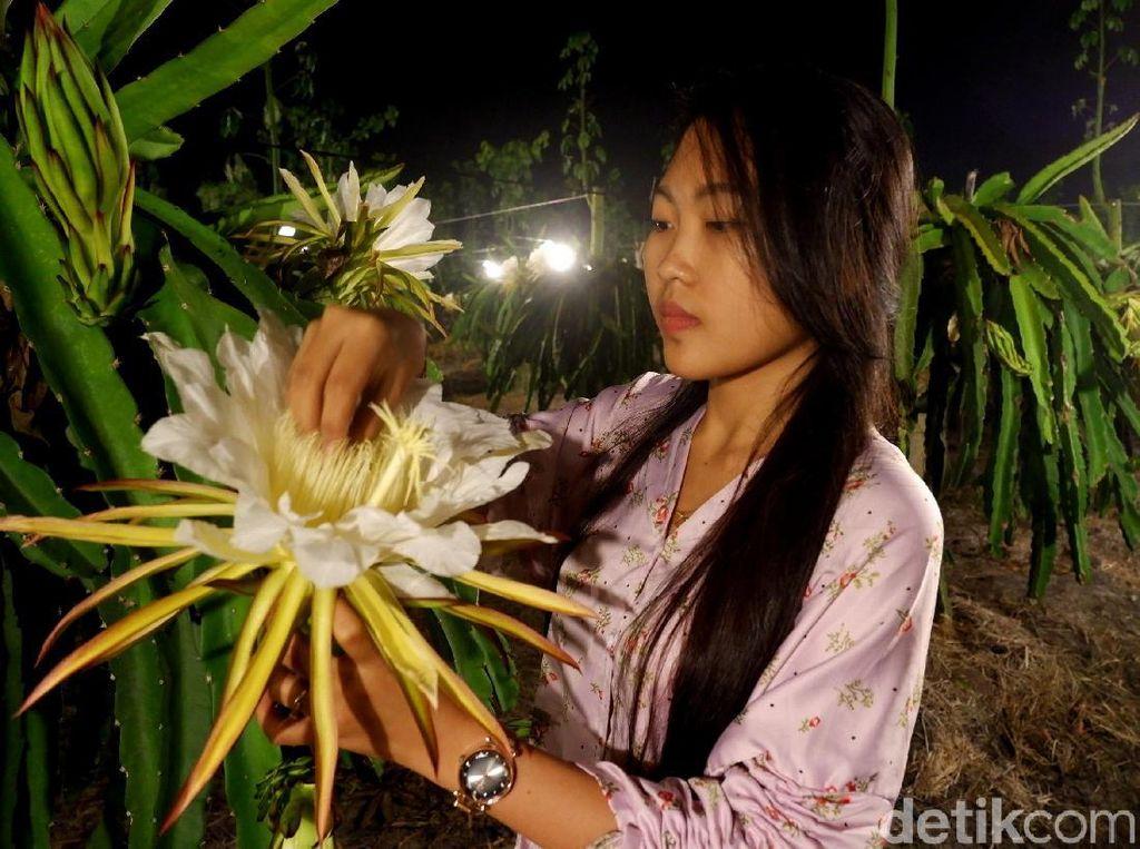 Kebun buah naga yang diisi beragam bunga bermekaran di malam hari itu jadi salah satu spot foto favorit warga.