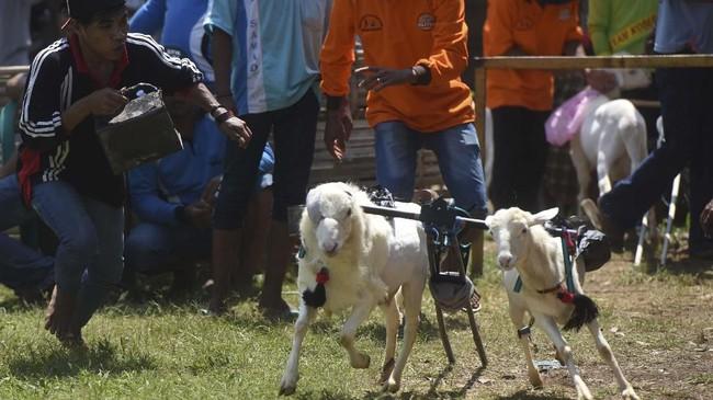 Tidak lupa balsam dan minyak angin dilumuri pada beberapa bagian tubuh kambing sehingga memberikan rasa panas yang cukup untuk membuat kambing tersebut berlari kencang sekuat tenaga. (ANTARA FOTO/Zabur Karuru)