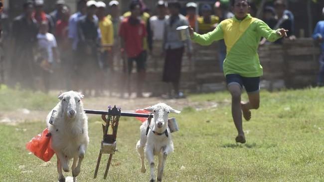 Kambing yang menang, kemudian diadu lagi pada babak selanjutnya. (ANTARA FOTO/Zabur Karuru)