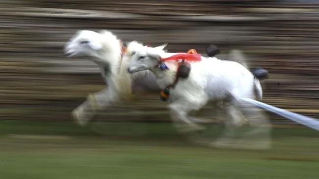 Aturan pertandingan karapan ini mirip dengan karapan sapi Madura. Dua pasang kambing dipacu untuk mencari yang tercepat, hanya saja joki karapan kambing tidak menaiki keleles seperti kerapan sapi, melainkan berlari di belakangnya. (ANTARA FOTO/Zabur Karuru)