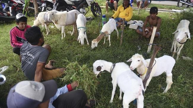 Joki memberi makan kambingnya sebelum mengikuti karapan. (ANTARA FOTO/Zabur Karuru)