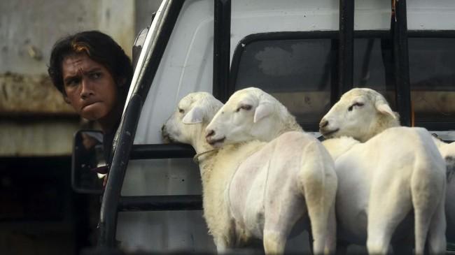 Karapan kambing merupakan tradisi turun temurun masyarakat Pandulungan. Tadisi ini asimilasi antara budaya Jawa dan Madura di pesisir Pantai Utara Jawa Timur (sebagian Tuban, Lamongan, Surabaya, Sidoarjo, Pasuruan, hingga Situbondo) dan sebagian pesisir Selatan Jawa Timur bagian timur (Lumajang, Jember, dan sebagian Banyuwangi).