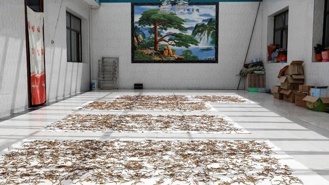 Sayangnya panen cordyceps sudah berkurang di Qinghai, wilayah penghasil jamur obat terbesar di China. (REUTERS/Aly Song)