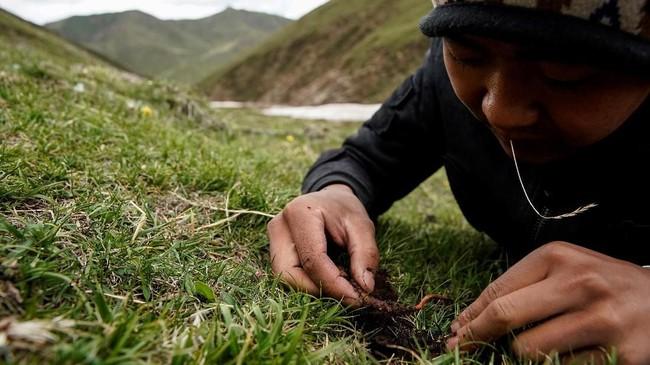 Dalam beberapa tahun terakhir perusahaan cordyceps di Qinghai membayar jutaan yuan kpada penduduk setempat untuk menutup gunung tiap musimnya. (REUTERS/Aly Song)