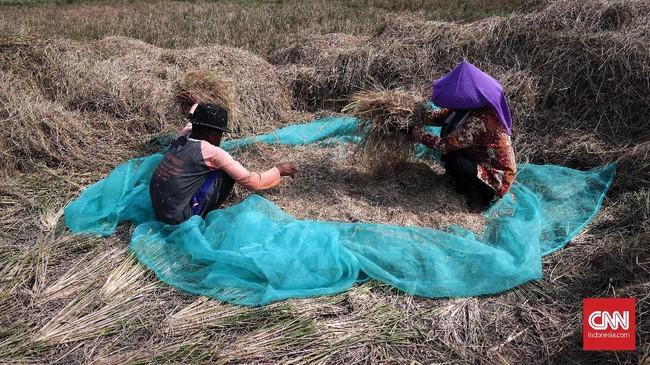 Musim kemarau membuat produksi panen tahun ini diperkirakan cenderung menurun karena beberapa daerah terdampak kekeringan. (CNNIndonesia/Safir Makki)