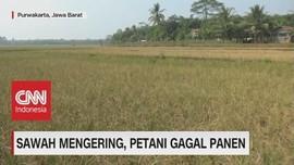 VIDEO: Kemarau Panjang, Sawah Mengering, Petani Gagal Panen