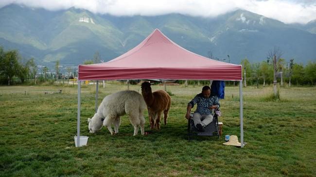 Seekor alpaca yang didatangkan dari Amerika Selatan menjadi
