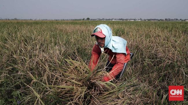 Petani memanen padi. Persawahan di kawasan Marunda, Jakarta Utara mulai menguning dan siap panen pada Selasa (2/7). (CNNIndonesia/Safir Makki)