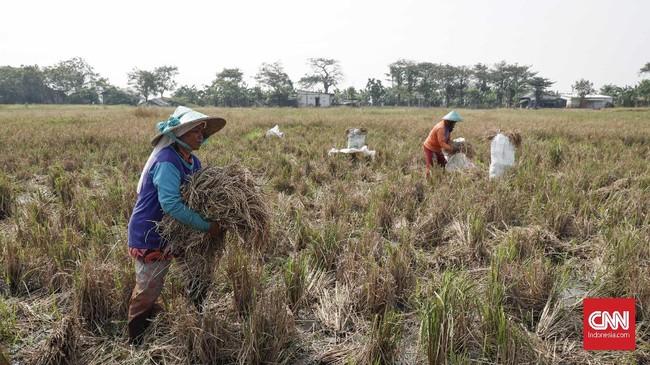 Kawasan Marunda, Cilincing, Jakarta Utara merupakan satu-satunya wilayah di Jakarta yang masih memiliki lahan persawahan. (CNNIndonesia/Safir Makki)