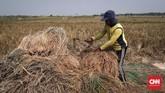 Namun, sejumlah petani mengeluh hasil panen kurang baik akibat hama dan anomali cuaca. (CNNIndonesia/Safir Makki)