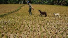 20.269 Hektare Sawah Terancam Puso karena Kemarau