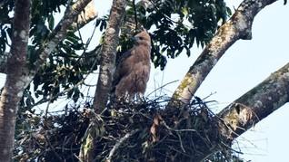 Sarang Garuda Kembali Ditemukan di Gunung Pangrango