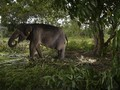 Kawanan Gajah Tersapu Banjir Bandang di Thailand, 6 Mati