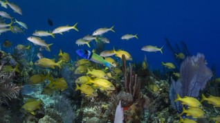 Ikan di Atlantik Berganti Kelamin Super Cepat, 10 Hari Saja