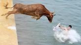 Seekor banteng melompat ke air dalam festival lomba lari banteng