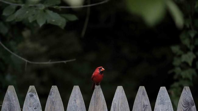 Seekor burung beristirahat di atas pagar pada suatu petang menjelang malam di Lutherville-Timonium, Baltimore, Amerika Serikat.(AP/Julio Cortez)