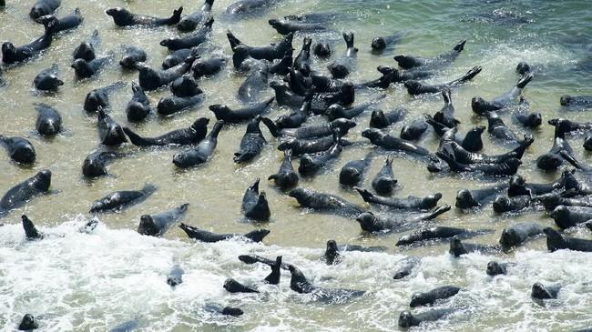 Namun di balik pesonanya, Cape Cod adalah rumah bagi seal (anjing laut) dan ikan hiu putih besar (great white shark).