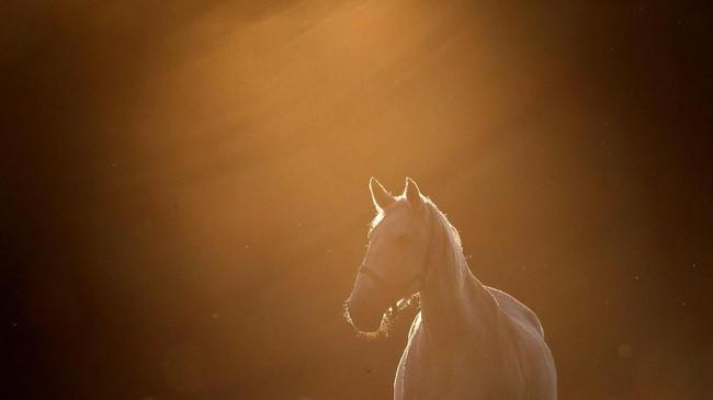 Disamping itu, kuda-kuda gagah ini juga digunakan untuk menarik puluhan ribu pengunjung pertanian.(REUTERS/David W Cerny)