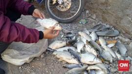 Ribuan Ikan Kali Surabaya Mati, Diduga Terpapar Limbah Pabrik